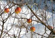 取り残されたリンゴ